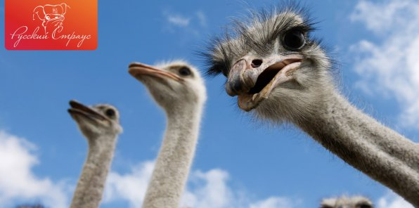 -51% на экскурсию на страусиную ферму «Русский страус»