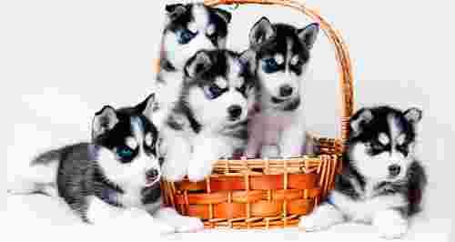 Скидка 60% на фотосессию со щенками хаски